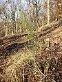 Cytisus scoparius (subsp. scoparius) sl1.jpg