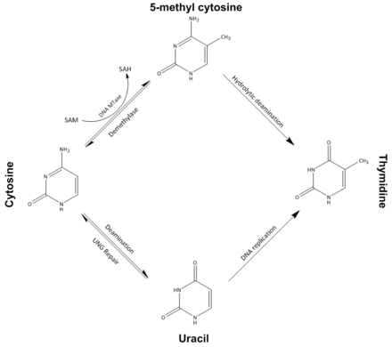 Possible pathways of cytosine methylation and demethylation. Abbreviations: S-Adenosyl-L-homocysteine (SAH), S-adenosyl-L-methionine (SAM), DNA methyltransferase (DNA MTase), Uracil-DNA glycosylase (UNG) DNA methylation (corrected).png
