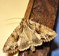 DSC07347 British Moths.jpg