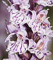 Dactylorhiza maculata-03.jpg