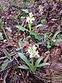 Dactylorhiza sambucina sl4.jpg