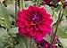 Dahlia cultivar (70093s).jpg