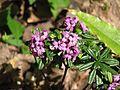 Daphne arbuscula x collina Cheriton - Flickr - peganum.jpg