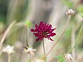 Dark red flower (9524923225).jpg