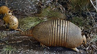 Dasypus - Image: Dasypus hybridus (mulita)