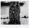 Date Palm (26511466940).jpg