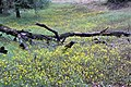 Dead Tree In A Field Of Yellow This Was Along A Streach Of Road With No Pull Offs And I Wanted T (137310913).jpeg
