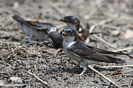 Delichon dasypus -Hokkaido -Japan -collecting nest material-8a.jpg