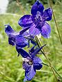 Delphinium menziesii (8744543249).jpg