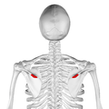 Deltoid tubercle of spine of scapula04.png