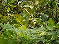 Dendrelaphis tristis (4194694153).jpg