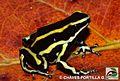 Dendrobates truncatus01b.jpeg