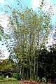 Dendrocalamus giganteus - Mounts Botanical Garden - Palm Beach County, Florida -DSC03755.jpg