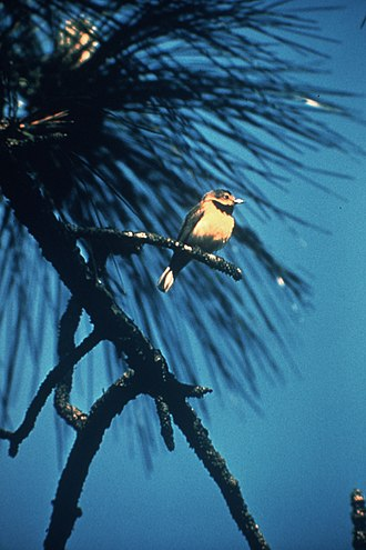 Bachman's warbler - Live bird photographed by Jerry A. Payne in 1958