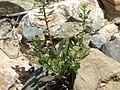 Desert peppercress, Lepidium lasiocarpum subsp. lasiocarpum (25651239800).jpg