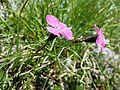 Dianthus alpinus sl7.jpg