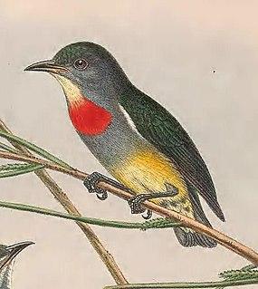 Midget flowerpecker species of bird