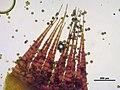 Dicranum scoparium (h, 144737-474654) 8251.JPG