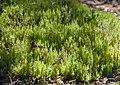 Dicranum speirophyllum (14869594732).jpg