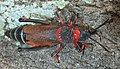 Dictyophorus spumans, Elandsfontein, b.jpg