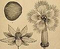 Die Natürlichen Pflanzenfamilien - nebst ihren Gattungen und wichtigeren Arten, insbesondere den Nutzpflanzen (1887) (20926294252).jpg
