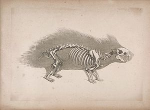 Crested porcupine - Skeleton