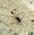 Digger Wasp. Sceliphron spirifex - Flickr - gailhampshire (3).jpg