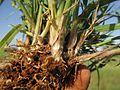 Digitaria divaricatissima42 stem base2 - Flickr - Macleay Grass Man.jpg