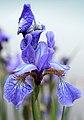 Dilating Iris (27572976696).jpg