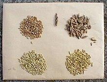 grain wikipedia
