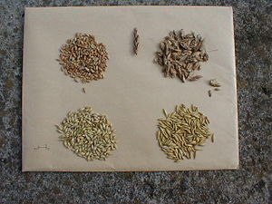 Grain - Cereal grain seeds from left to right: wheat, spelt, barley, oat.