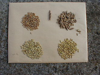 Cereal - Cereal grain seeds from left to right, top to bottom: wheat, spelt, barley, oat.
