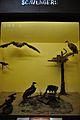 Diorama - Scavengers - Zoological Gallery - Indian Museum - Kolkata 2014-04-04 4388.JPG
