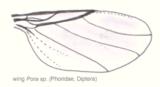 Dip-phoridae-phora-wing.png