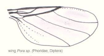 Dip-phoridae-phora-wing
