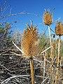 Dipsacus sativus-25.jpg