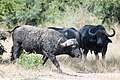 Dirty cow (4099196464).jpg