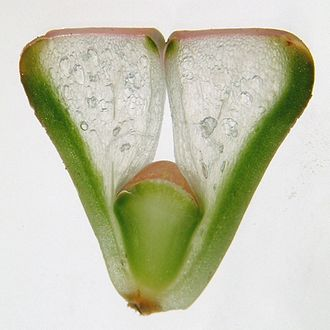 Lithops - Longitudinal section of a Lithops plant, showing the epidermal window at the top, the translucent succulent tissue, the green photosynthetic tissue, and the decussate budding leaves growing between the mature leaves.