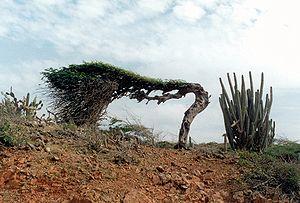 Libidibia coriaria - Divi-divi on Aruba
