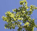 Doğu Çınarı yaprakları - Foliage of Platanus orientalis.jpg