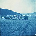 Dog team hauling barrels of water across the flats, Dawson, 1898 (AL+CA 7116).jpg