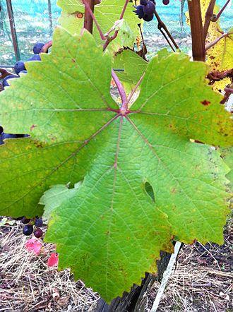 Dolcetto - Dolcetto vine leaf.