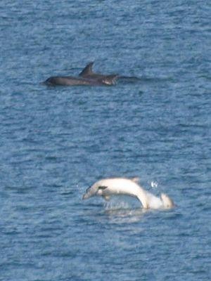 Erris - Dolphins frolic in Sruwaddacon Bay, Kilcommon, Erris, County Mayo. August 2010