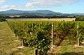 Domaine Chandon Australia vineyard.jpg