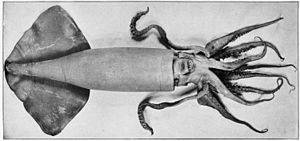 Humboldt squid - Ventral view of D. gigas from the Bulletin of the United States Fish Commission