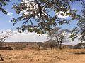 Drought in the Kongwa District, Dodoma Region, Tanzania, East Africa.jpg