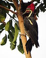 Dryocopus lineatus (Carpintero real) (24701925062).jpg