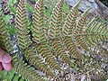 Dryopteris erythrosora4.jpg