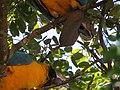 "Duas ""araras-canindé"" - Ara ararauna - se alimentando de frutos e sementes de jatobá - Hymenaea courbaril 16.jpg"