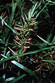 Dulichium arundinaceum NRCS-1.jpg